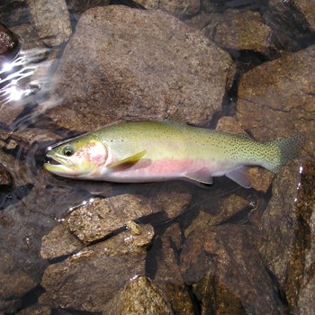 Trout Slideshow